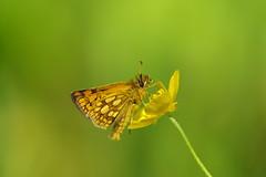 Gelbwürfeliger Dickkopffalter (Aah-Yeah) Tags: gelbwürfeliger dickkopffalter achental chiemgau bayern schmetterling butterfly