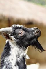 Are you looking at me? (Arnold Adikrishna) Tags: nikond90 nikkor50mmf18d niftyfifty goat black white portrait bokeh indonesia faunaland jakarta hganimalonly