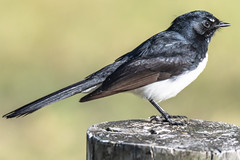 Willie Wagtail (Merrillie) Tags: nsw wetland estuary wildlife williewagtail theentrance nature water birds australia animals fauna centralcoast newsouthwales wagtail