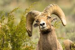 Chin shot (ChicagoBob46) Tags: rockymountainbighornsheep bighornsheep sheep ram yellowstone yellowstonenationalpark nature wildlife ngc npc coth5