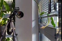 Getting the Dutchman's pipe ready for blooming (valerian.guillot) Tags: flower timelapse planart1450 zeiss ze canon 6d