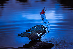 Muscovy duck, Picton (Theresa Hall (teniche)) Tags: 2018 australia canberra picton teniche theresahall theresahalldalliessi beauty bird birds creek duck ducks foreshore friendly natural nature nikon pond river water waterbird waterbirds waterway redwattledblackandwhitemuscovyduck muscovyduck muscovy
