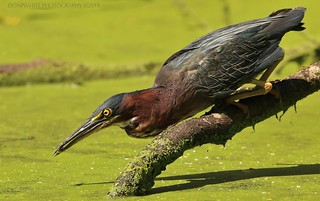 green heron's junk food