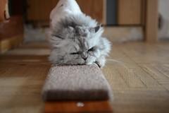 Отдых (akk_rus) Tags: 3570 28 nikkor nikkor357028 nikon d800 nikond800 marcello persian cat cats pet pets chat chats animal animals nature feline gato кот коты кошка chinchilla