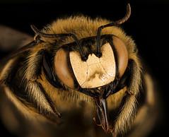 Xylocopa lugubris, m, face, Kruger National Park, South Africa Mpumalanga_2018-07-17-22.55 (Sam Droege) Tags: unitedstatesgeologicalsurvey departmentoftheinterior beeinventoryandmonitoringlaboratory bugs usgs krugernationalpark southafrica erickhernandez macrophotography entomology carpenterbee taxonomy:binomial=xylocopalugubris