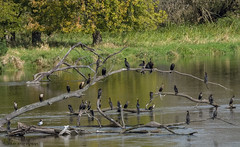 Group of Cormorants. (Estrada77) Tags: doublecrestedcormorant cormorants ducks divingducks wildlife water summer2018 sep2018 outdoors nikon nikond500200500mm nature foxriver kanecounty birds birding