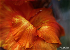 Orange Canna... (angelakanner) Tags: canon70d lensbaby sol45 garden longisland orange canna closeup bokeh