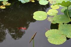 南潯-小蓮莊 The Cute Lotus Garden (沐均青) Tags: chinese travel summer river china water lotus historical cultural green landscape scenery reflection