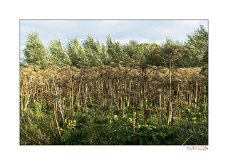 Giant Hogweed Forest_0034