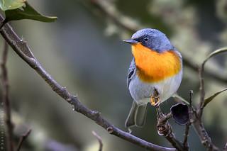 Reinita Garganta de Fuego. Flame-throated Warbler. Oreothlypis gutturalis