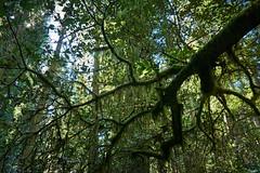 eMERALD cANOPY (wNG555) Tags: 2014 california crescentcity delnortecoastredwoodsstatepark redwoods fav25 fav50