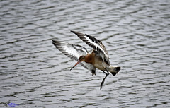 Black tailed Godwit. (spw6156 - Over 6,560,030 Views) Tags: black tailed godwit copyright steve waterhouse
