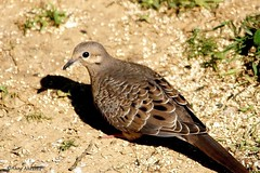 Juvenile Mourning Dove (Anne Ahearne) Tags: wild bird animal nature wildlife dove mourningdove juvenille juvenile songbird birdwatching