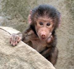 hamadryas baboon Berlin Zoo JN6A7443 (j.a.kok) Tags: animal africa afrika aap mammal monkey primate primaat baboon baviaan mantelbaviaan hamadryasbaboon papiohamadryas zoogdier dier berlijn berlijnzoo berlinzoo baby babybaboon