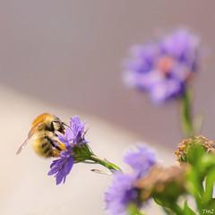 Butinage et bokeh !! (thierrymazel) Tags: bee bokeh pdc dof profondeurdechamp flowers animal insecte