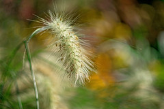 fuzzy (Sabinche) Tags: minolta mdrokkor 50114 olympus grass sabinche
