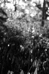 Home is where you make it (_Lionel_08) Tags: spider web wildlife wild white wet black bokeh monochrome morning wetlands swamp louisiana leaves canon