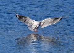 Black-headed Gull (gillybooze) Tags: ©allrightsreserved bird gull birdwatcher blackheadedgull inflight water reflections wings feathers outdoor lake