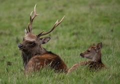 DSC_1746.jpg (dan.bailey1000) Tags: cork wildlife ireland sika deer donerailepark