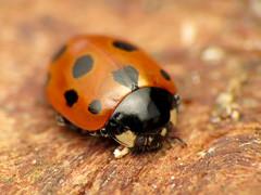 Eleven-spotted Ladybird (treegrow) Tags: newzealand moana lakebrunner nature lifeonearth raynoxdcr250 arthropoda insect coccinellidae coccinellaundecimpunctata taxonomy:binomial=coccinellaundecimpunctata beetle coleoptera