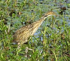American Bittern (J K Amero) Tags: pnw washington bird bittern wetland refuge