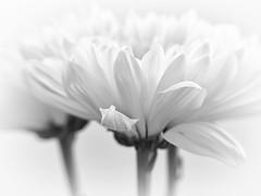 Mums the Word (Anne Worner) Tags: flower bloom blossom olympus blackandwhite bw chrysanthemum mum anneworner highkey