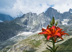 Lily of Mont Blanc (lucafabbricesena) Tags: monte bianco mont blanc giglio lilium lily red flower nature landscape saussurea alpine botanical garden alpi alps rocks mountain nikon d800 summer