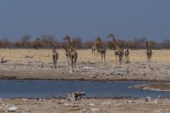 Girafes ( Philippe L PhotoGraphy ) Tags: afrique namibie oshikotoregion na afric philippelphotography rapace oiseaux elephan réserve pentax k1