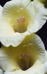 DSC_1743 Gladioli (PeaTJay) Tags: nikond750 sigma reading lowerearley berkshire macro micro closeups gardens indoors nature flora fauna plants flowers gladioli