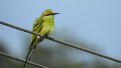 Bee for Breakfast (Ezhil Ramalingam) Tags: beeeater greenbeeeater naickanery
