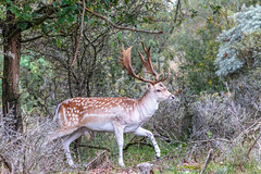 Fallow deer (rudi.verschoren) Tags: nature reserve water extraction north holland deer outdoor supply dunes trees bush landscape park green colors contrast leaves light mood autumn exposure canon 70d