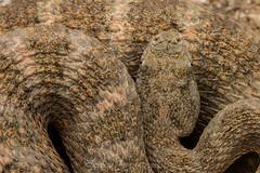 Tiger rattlesnake (Crotalus tigris) (Spencer Dybdahl Riffle) Tags: nature animal wildlife snake reptile rattlesnake crotalus tigris tiger crotalustigris viper viperidae herp herping arizona pima