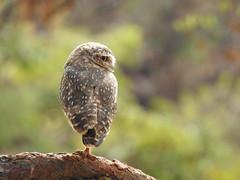 Coruja-buraqueira (Alexandre Marino) Tags: corujaburaqueira athenecunicularia aves birds pássaros corujas owls owl
