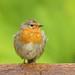 Robin_British_IMG_0946 copy