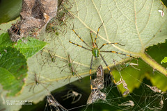 Green lynx spider (Peucetia madagascariensis) - DSC_7880 (nickybay) Tags: africa macro madagascar andasibe peucetia madagascariensis oxyopidae green lynx spider spiderlings babies