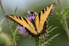 IMG_3119a (judyflo1) Tags: summer garden macro flowers wildflowers thistle butterfly swallowtail insect wings