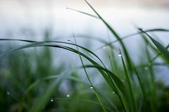 morning grass (ella~d) Tags: lake lakemoose minnesota cabin summer vacation