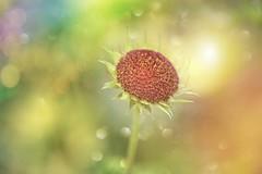 Flowers End... (KissThePixel) Tags: petals petal bud light flower flowerbud end beginning beauty simplebeauty sunlight bokeh bokehlicious macro nikon seeds summer summersend august seedpod pod nikond750 sigma sigma70200mm f28