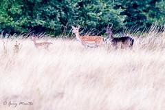 Fallow Deer - Dama Dama (Liquidparadox) Tags: fallow deer fawn doe buck canon animal nature family warwickshire