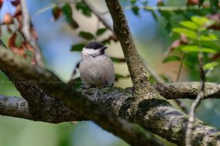 Willow Tit, Mésange boréale (Poecile montanus) - Jalhay, BELGIUM