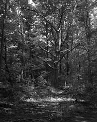 The Old Master (Alex Luyckx) Tags: mccranneyvalley hike creek woods forest trail park greenspace urbanpark oakville ontario canada graflex pacemakercrowngraphic crowngraphic largeformat presscamera fujifujinonw156125 4x5 agfa agfaagfapanapx100 apx100 asa100 blazinal rodinal 150 blackwhite bw pentaxspotmeterv epsonv700 adobephotoshopcc sp445 film filmphotography believeinfilm filmisalive filmisnotdead