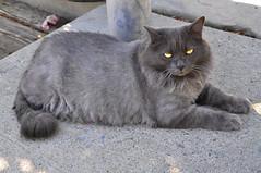 SMOKEY 4 (Narodnie Mstiteli) Tags: reno nevada moana nursery don bachman 89523 marshal arts chilcoot narodnie mstiteli grey cat fat pussy meow pet animal