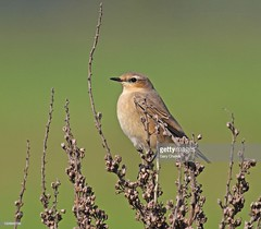 Wheatear (Gary Chalker, Thanks for over 3,000,000. views) Tags: wheatear bird pentax pentaxk3ii k3ii pentaxfa600mmf4edif fa600mmf4edif fa600mm 600mm