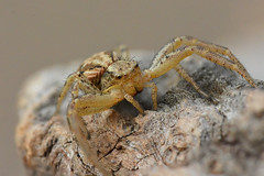 Krabspin Xysticus (johco266) Tags: krabspin crabspider krabbenspinne xysticus spin spider araignée spinne arachnida aranea araña arthropoda macro macrophotography nikon backyard gardensafari