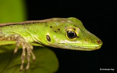 Anolis gemmosus (Ecuador Megadiverso) Tags: andreaskay anolisgemmosus birdwatcherslodge dactyloagemmosus dactyloidae ecuador gemanole lizard mindo reptile