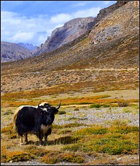 An offended yak..We were there when it was having a sumptuous meal along with a lot of sunshine.. (debanjanmaitra) Tags: yak wildlife nature fantasticnature photography loveforphotography lonelyplanet mountains bluesky picturesque nikon india incredibleindia highaltitude