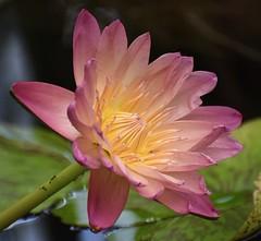 Water lily #2 (MJ Harbey) Tags: lily waterlily flower nymphaea albertgreenberg kewgardens london royalbotanicgardenskew unescoworldheritagesite nikon d3300 nikond3300