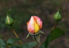 DSC_1580 (PeaTJay) Tags: nikond750 sigma reading lowerearley berkshire macro micro closeups gardens outdoors nature flora fauna plants flowers rose roses rosebuds