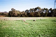 Sheep on a farm (Matthew Paul Argall) Tags: fujifilm fujifilmhispeed1600 1600isofilm fixedfocus 35mmfilm farm sheep