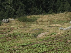 marmotte (bulbocode909) Tags: valais suisse valdentremont vallondevalsorey marmottes nature montagnes alpages forêts arbres rochers vert